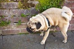 De mannelijke pug hond pissing op de muur stock afbeelding
