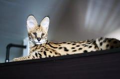 De mannelijke serval serval zitting van kattenleptailurus bovenop kast Stock Foto's