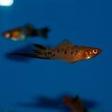 De mannelijke vissen van Calicoswordtail stock foto's
