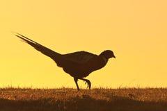 De mannelijke vogel die van de fazant op een heuvel loopt Stock Foto