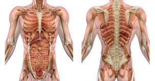 De mannelijke Voorzijde van het Torso en terug met Spieren en Organen royalty-vrije illustratie