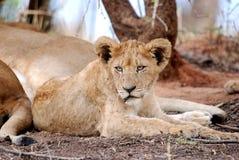 De mannelijke Welp van de Leeuw Stock Afbeeldingen