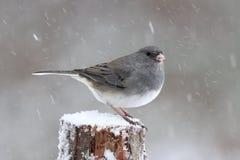 De mannelijke Winter Junco stock afbeeldingen