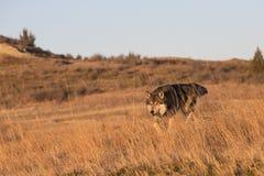De mannelijke wolf op snuffelt voor voedsel rond royalty-vrije stock afbeeldingen