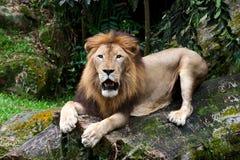 De mannelijke zitting van de Leeuw op de boomboomstam Royalty-vrije Stock Fotografie