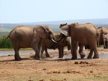 De Mannetjes van de olifant vechten stock afbeelding