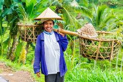3 de março de 2015 Baly O fazendeiro do Balinese seca o arroz espalhado para fora sobre Fotos de Stock Royalty Free