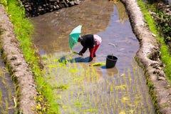 3 de março de 2015 vila Batad, Filipinas Fazendeiro que planta o arroz mim Fotografia de Stock