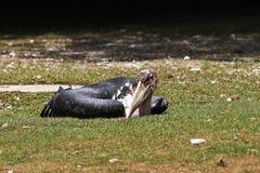 De Maraboeooievaar, Leptoptilos crumenifer is een grote wadende vogel royalty-vrije stock afbeeldingen