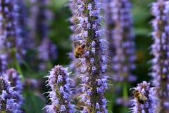 ` De Marco del ` del nemorosa de Salie o de Salvia con una abeja Imagen de archivo
