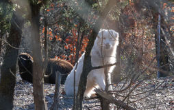 De maremmaherdershond Royalty-vrije Stock Foto