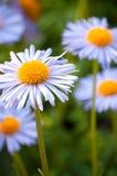 De margriet van de bloem Royalty-vrije Stock Foto