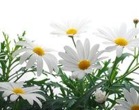 De margriet van de lente Stock Foto