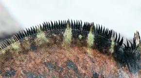 De Mariene Leguaan van de close-up stock fotografie