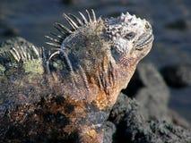 De mariene leguaan van de Galapagos Stock Foto