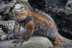 De mariene leguaan van de Galapagos, het eiland van San Cristobal, Ecuador stock afbeelding