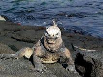 De mariene leguaan van Galapagoes Royalty-vrije Stock Fotografie