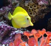 De mariene vos van aquariumvissen Royalty-vrije Stock Foto's
