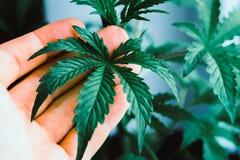 De Marihuanabladeren van de installatie medische marihuana, het mooie blad van A van cannabis, marihuana, kruidenhanden bij de ma royalty-vrije stock fotografie