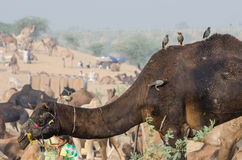 De Markt van de Pushkarkameel, Rajasthan, India Royalty-vrije Stock Foto's