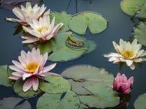 ` De Marliacea Rosea do ` dos lírios de água com pétalas cor-de-rosa e uma rã no centro da composição foto de stock