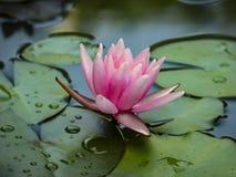 ` De Marliacea Rosea de ` de nénuphar avec les pétales roses Ils sont couverts de wate photographie stock libre de droits