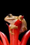 De marmer Kikker van het Riet Stock Afbeelding