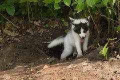 De marmeren Vos (Vulpes vulpes) beklimt uit Hol Royalty-vrije Stock Fotografie