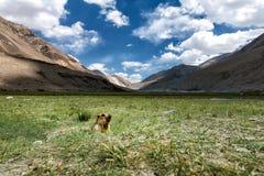 De marmot komt uit het gat op het grasgebied royalty-vrije stock afbeeldingen