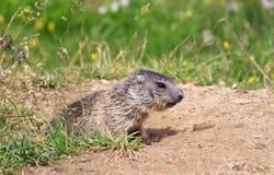 De marmot van de baby Royalty-vrije Stock Afbeelding