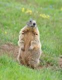 De marmot van de schildwacht Royalty-vrije Stock Afbeeldingen
