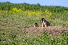 De marmotfamilie kijkt uit het gat Zonnige de zomerdag Leuke steppedieren Gebied met kruiden, blauwe hemel stock fotografie