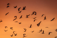 8 de marzo de 2017 - las aves del agua de la isla magnífica, Nebraska - de PLATTE del RÍO, ESTADOS UNIDOS y las grúas migratorias Foto de archivo libre de regalías