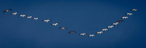 7 de marzo de 2017 - los gansos de nieve de la isla magnífica, Nebraska - de PLATTE del RÍO, ESTADOS UNIDOS y las grúas migratori Foto de archivo libre de regalías