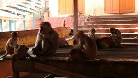 5 de marzo de 2016 Nyaungshwe, Myanmar Muchos monos de macaque dentro del monasterio de la colina de Popa - Myanmar metrajes