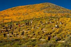 15 DE MARZO DE 2019 - LAGO ELSINORE, CA, los E.E.U.U. - amapolas de California estupendas de la floraci?n en Walker Canyon fuera  fotos de archivo