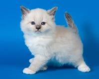 De maskeradekatje van Neva royalty-vrije stock foto