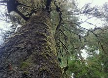 De massieve Nette boom van Sitka in het Park van de Staat van Kaapperpetua Stock Foto's