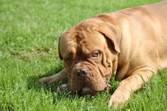 De mastiff van Bordoss royalty-vrije stock fotografie