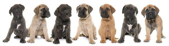 De mastiff van de puppystier Royalty-vrije Stock Foto