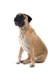 De mastiffhond van de stier stock fotografie
