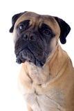 De mastiffhond van de stier royalty-vrije stock afbeeldingen
