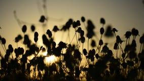 De Matricaria chamomille silhouetten bloeit bij zonsondergang aromatische clusters van bloemen van lange beslopen hoofden stock footage