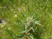 De mauvaise herbe fleur mauvaise pr? image stock
