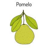 De maxima van de pompelmoescitrusvrucht, of pamplemousse, jabong, pompelmoes - citrusvruchten Stock Foto's