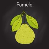 De maxima van de pompelmoescitrusvrucht, of pamplemousse, jabong, pompelmoes - citrusvruchten Stock Foto