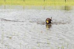 30 de mayo de 2015 - Beverly Kaufman Dog Park, Katy, TX: el jugar de los perros Fotografía de archivo