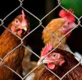 De medebewoners van de kip stock fotografie