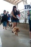 De mededingers paraderen Hun Honden voor het Oordelen bij Hondfestival Stock Afbeeldingen