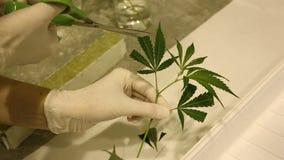 De medische cannabis van de hennepwetenschappelijk onderzoeker, rockwool stock videobeelden